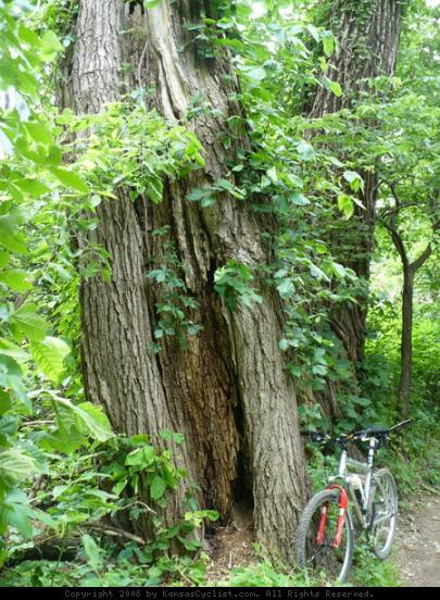 Lawrence River Trail - There are some large trees along the trail, including these big 'ole Cottonwoods.