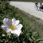 2012-04-27 - Prairie Wild Rose