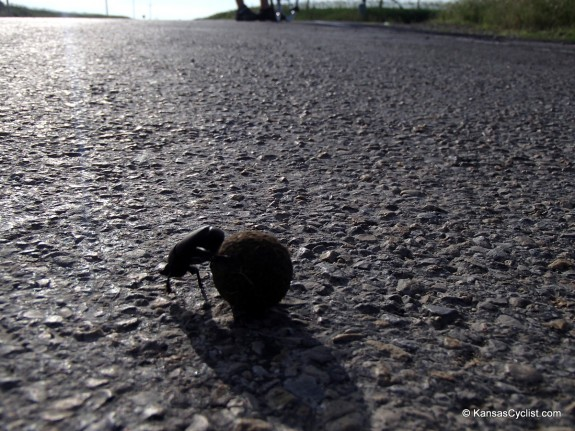 A dung beetle at work on a rural blacktop.