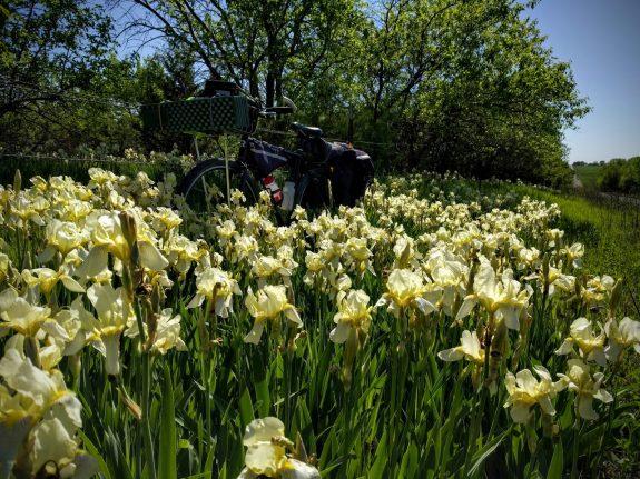 Abundant Irises along a gravel road in Franklin County