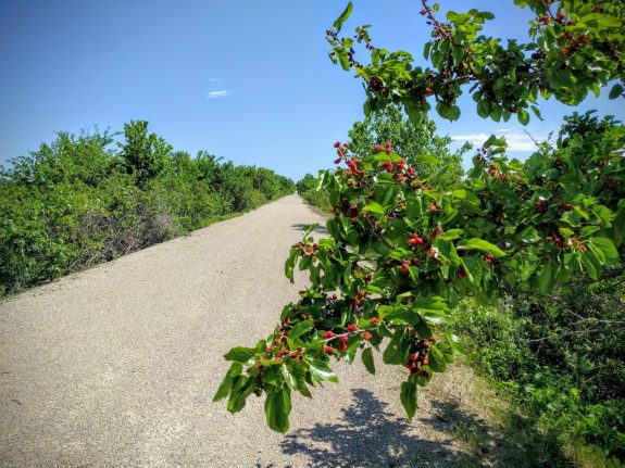 Mulberries ripening along the Prairie Spirit Trail