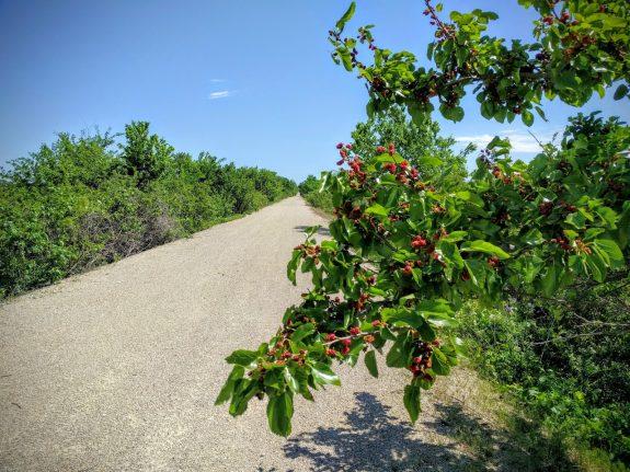 Mulberries ripening along the Prairie Spirit Trail