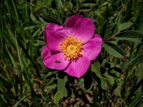 Wild Prairie Rose along the Prairie Spirit Trail