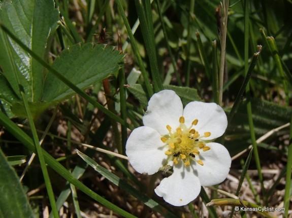 Wild Strawberry Blossom