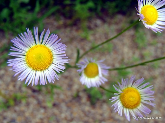Wildflowers2014 - Annual Fleabane 2