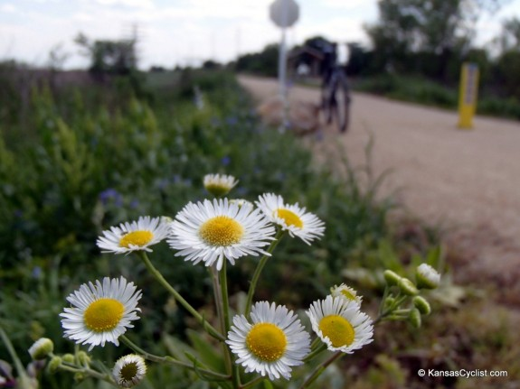 Wildflowers2014 - Annual Fleabane