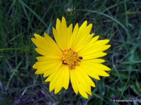 Wildflowers2014 - Bigflower Coreopsis
