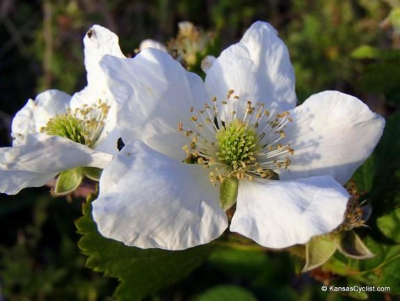Wildflowers2014 - Blackberry