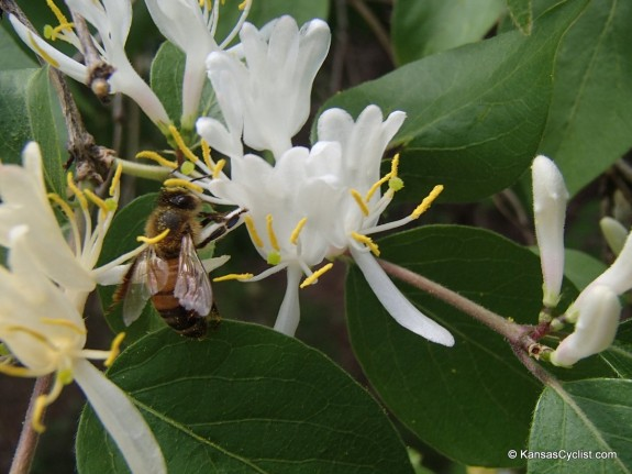 Wildflowers2014 - Honeysuckle