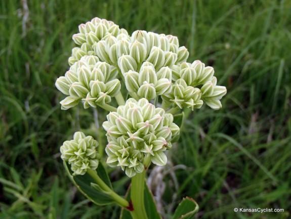 Wildflowers2014 - Milkweed 1