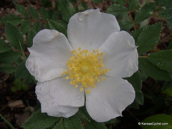 Wildflowers2014 - Multiflora Rose