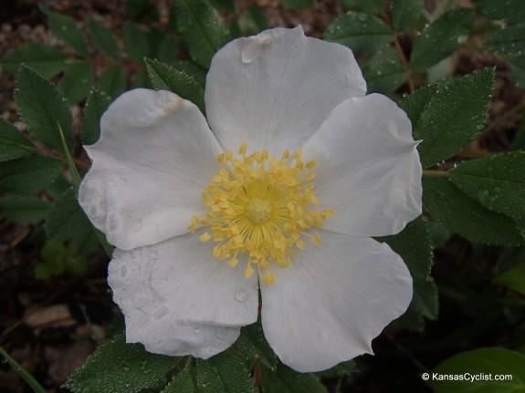 Wildflowers2014 - Multiflora Rose