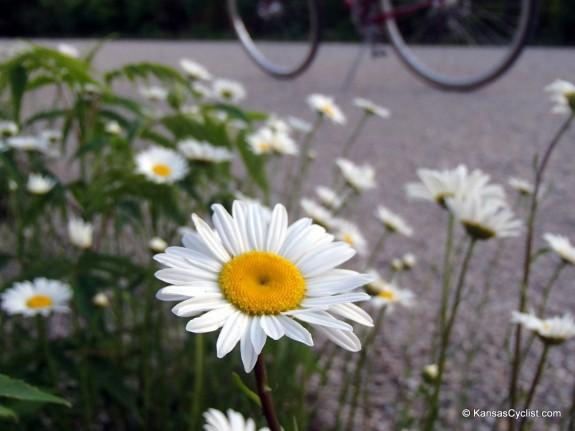 Wildflowers2014 - Ox-Eye Daisy
