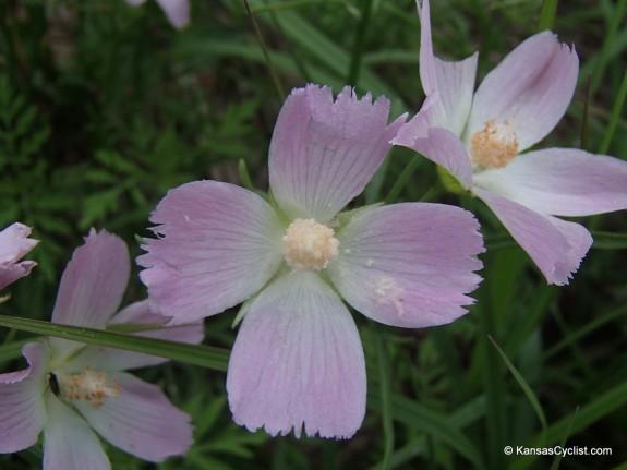 Wildflowers2014 - Pale Poppy Mallow
