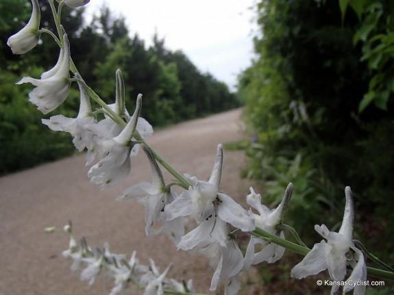Wildflowers2014 - Prairie Larkspur