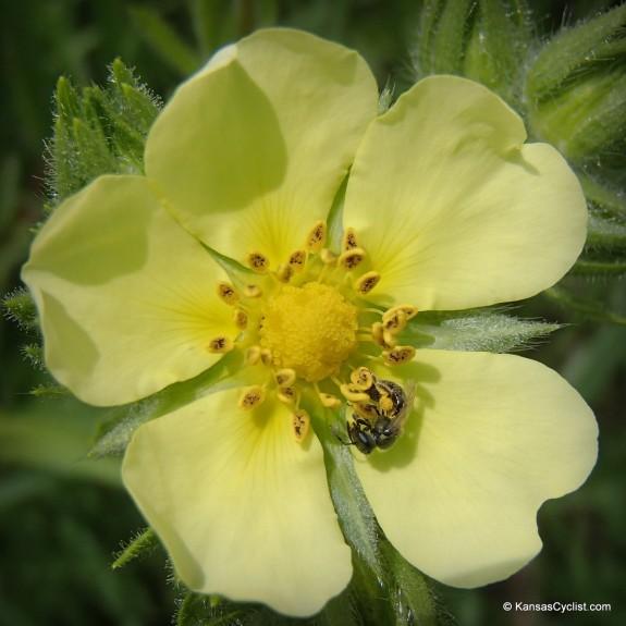 Wildflowers2014 - Sulphur Cinquefoil 2