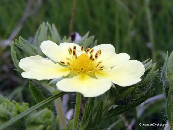 Wildflowers2014 - Sulphur Cinquefoil
