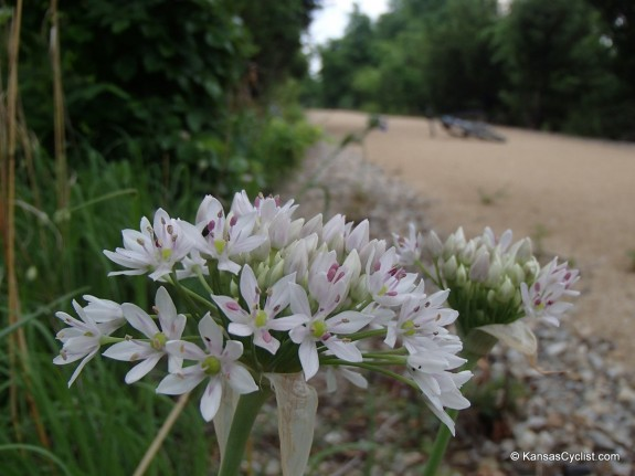 Wildflowers2014 - Wild Onion