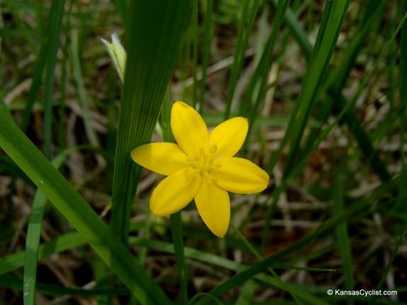 Wildflowers2014 - Yellow Stargrass